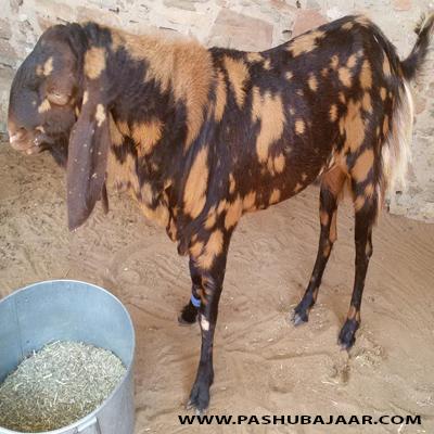 Ibrahim Farms  Goats by Breed  Kamori