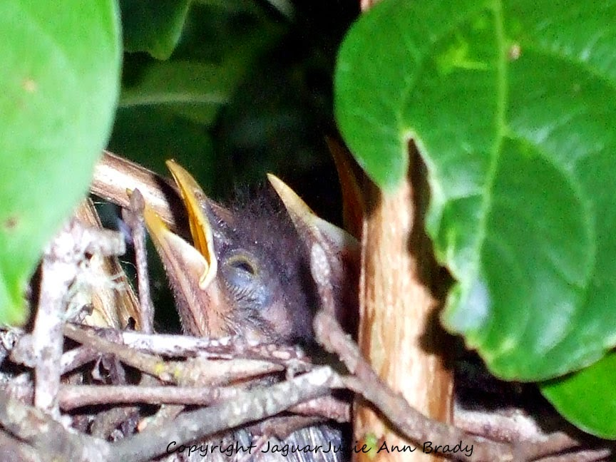 Baby Mockingbirds in a Nest in My Crepe Myrtle Tree