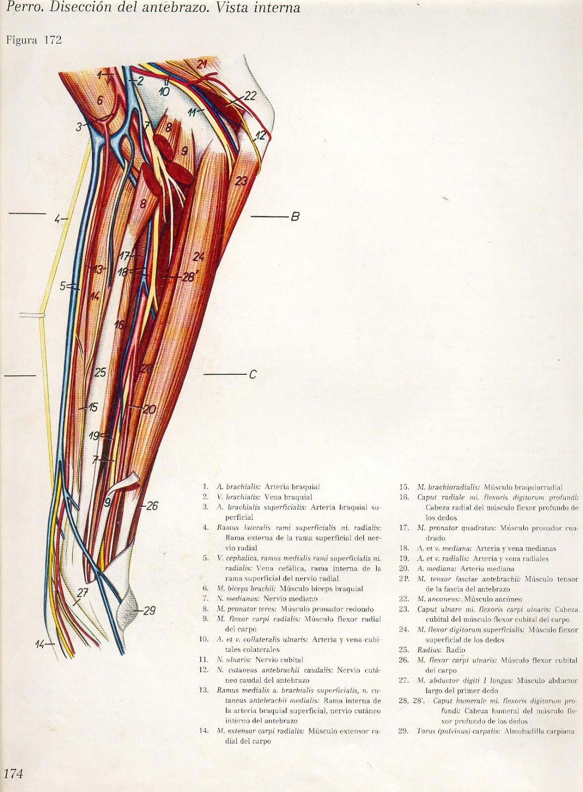 Atractivo Ct Opinión Anatomía Bandera - Anatomía de Las Imágenesdel ...