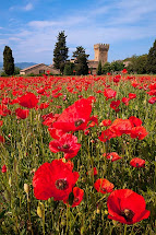 Nicest Poppies Pienza In Tuscany Italy