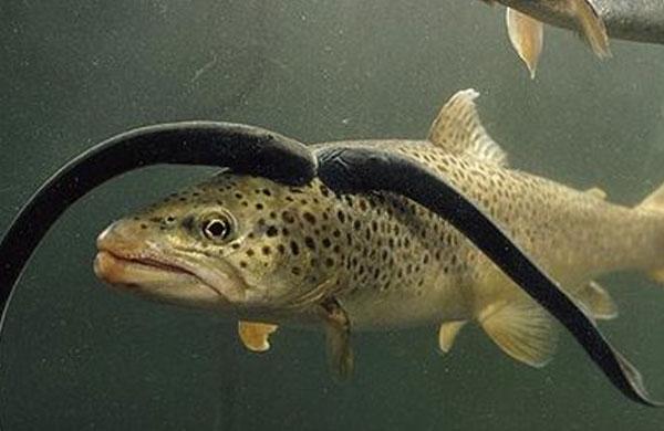 DUA lamprei menghisap darah seekor ikan trout.