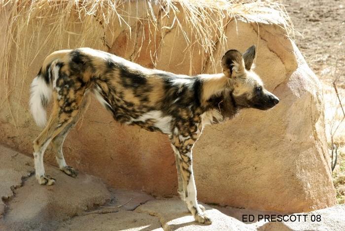 The realms of Mokka *Updated 5/17/2012* Wild+dog+2
