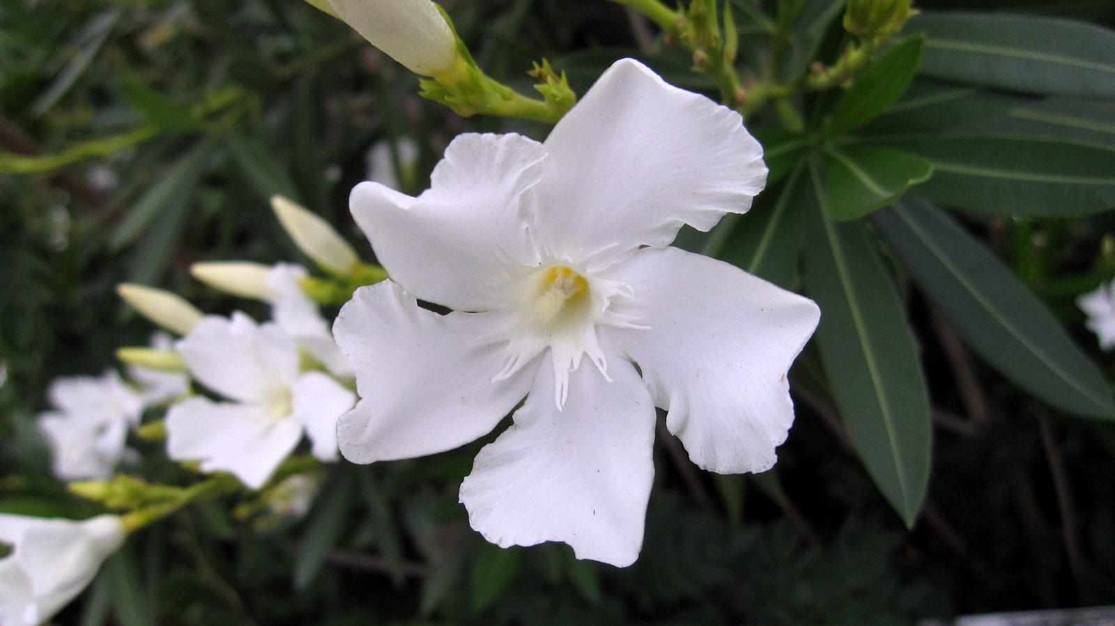plant photography nerium oleander white cultivar landscape. Black Bedroom Furniture Sets. Home Design Ideas