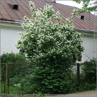 Philadelphus coronarius Growth Habit of flowering plant  - Jaśminowiec wonny   pokrój kwitnącej rośliny