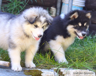 Alaskan Malamute Puppies