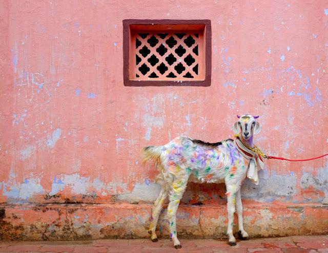 Kambing Berbulu Warna Warni di Festival Tahun Baru di Kota Pongal India Selatan