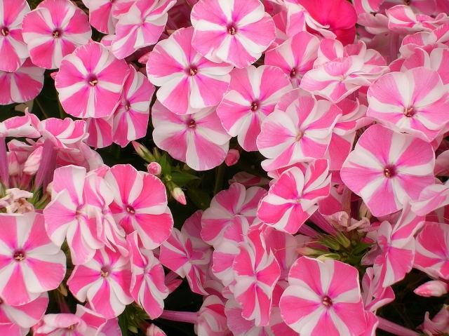 Piante e fiori phlox una pianta dai milleusi for Fiori perenni per bordure