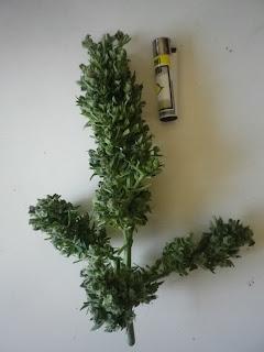 Speed Bud, Sweet seeds, autofloreciente, cogollos, cannabis, yerba, cosecha