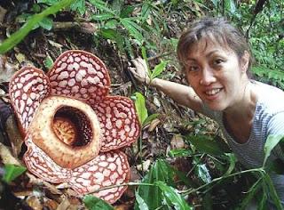 Exotic Rafflesia Azlanii Flower