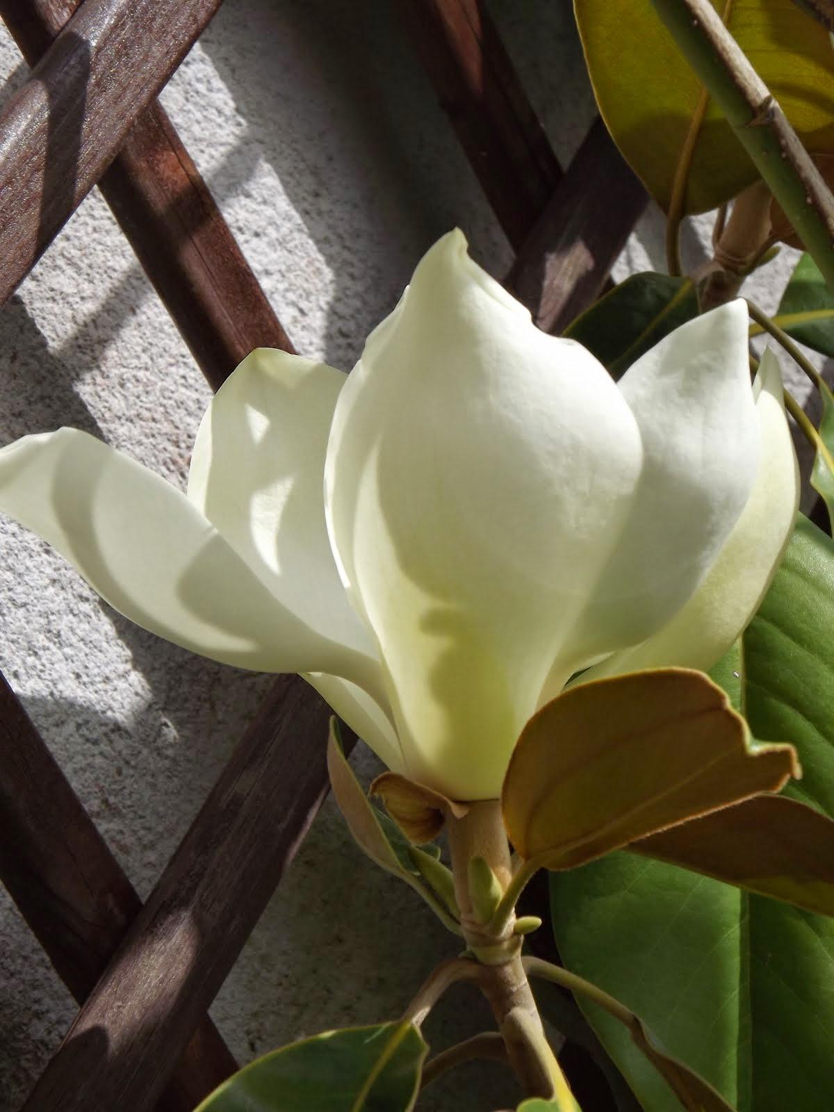 Florecen los Magnolios...