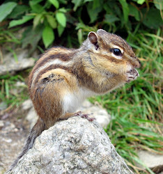 Chandra Chipmunk