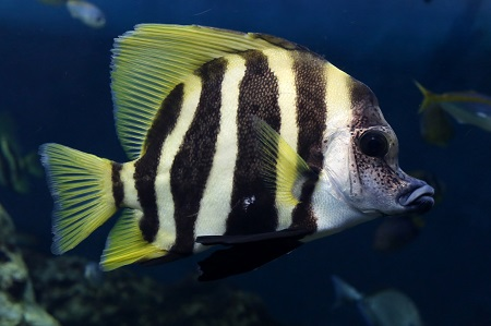 Striped boarfish