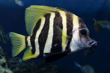 Striped boarfish