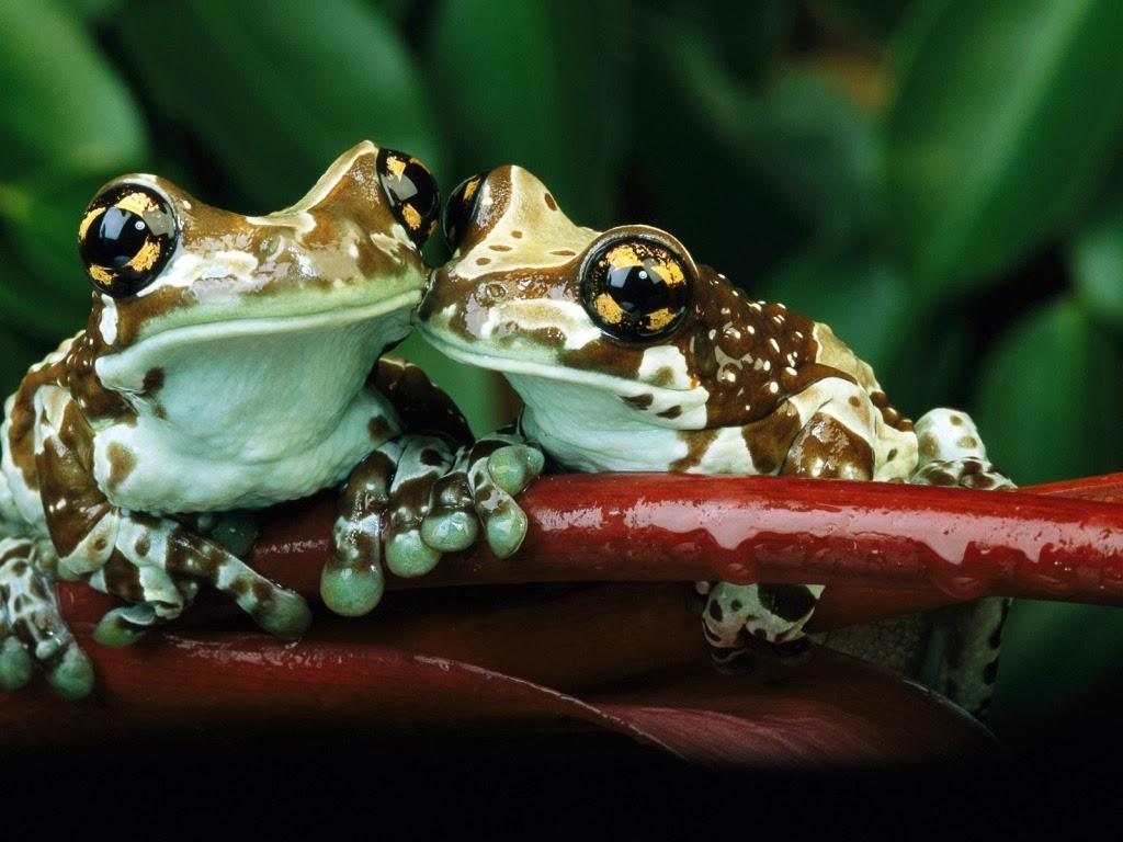 "<img src=""http://4.bp.blogspot.com/-uxVL3sb9uUM/UtmECkZ04-I/AAAAAAAAImY/3C9NDJvOYpg/s1600/animal-wallpapers-frog-couple.jpeg"" alt=""frogs couple"" />"