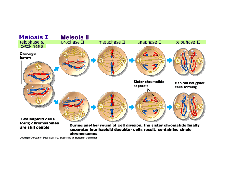 Meiosis diagram labeled label the diagram below with