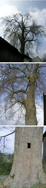 uralt, Winterlinde, dicker Baum
