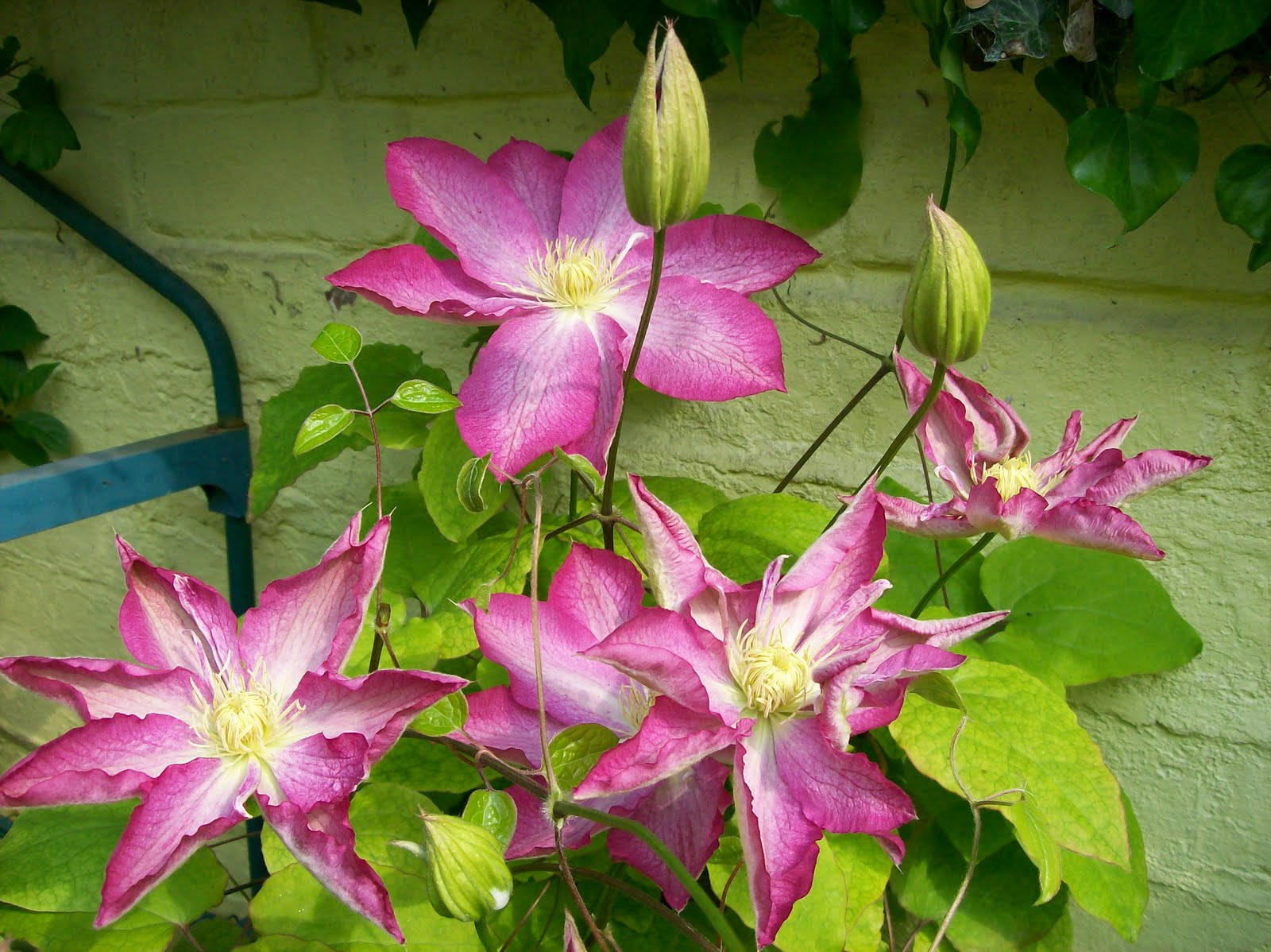 Feltabulous Clematis flowering for the Royal Wedding