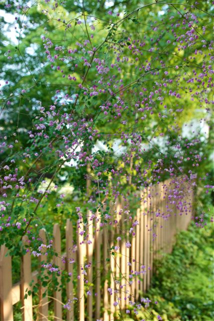 Along our back fence our purple flowering meadow rue, Thalictrum 'Splendide', is blooming away. It is over six feet tall and does not seem to mind the dry weather we have been having as much as some of the other shade plants.