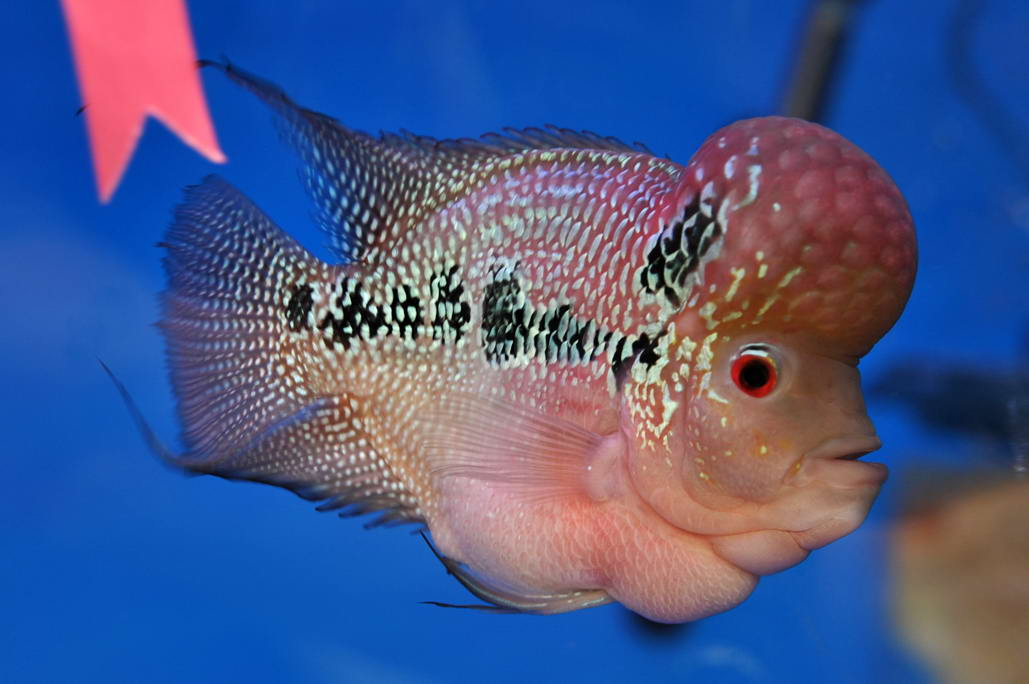 thai flowerhorn fish