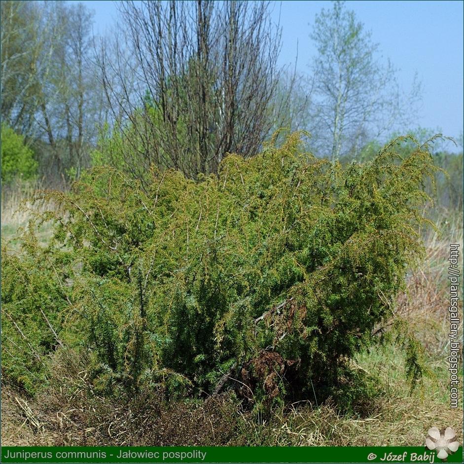 Juniperus communis habit - Jałowiec pospolity pokrój