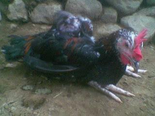 Penyebab ayam menjadi lumpuh