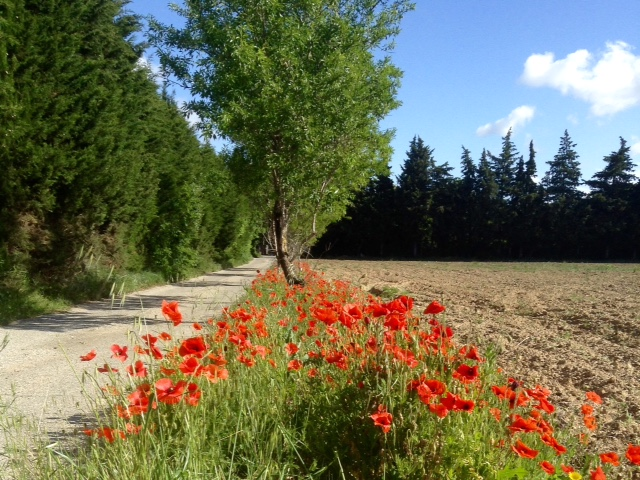 rows of poppies near our cottage outside of Avignon, France