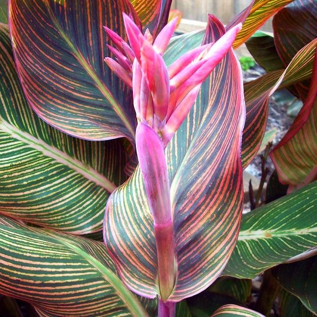 Semakin indonesia asimetris atau tidak simetris jika pada bunga tidak dapat dibuat satu bidang simetri dengan jalan apapun juga misalnya bunga tasbih canna hybrida hort ccuart Gallery