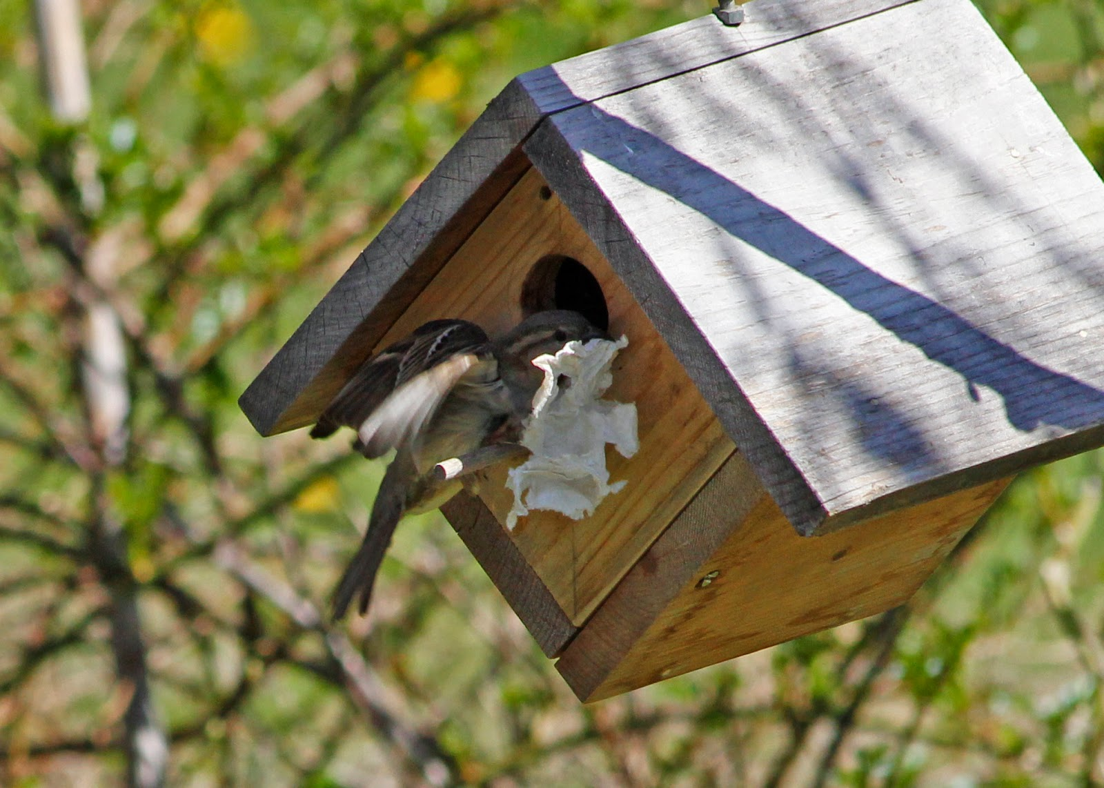 female house sparrow stuffs tissue back into house