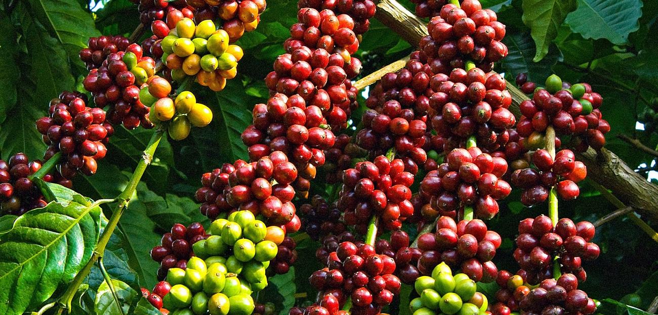 Silic cho cây cà phê