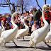 Парадът на лебедите