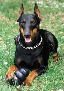 doberman pinscher pets dog healty breeds animal picture