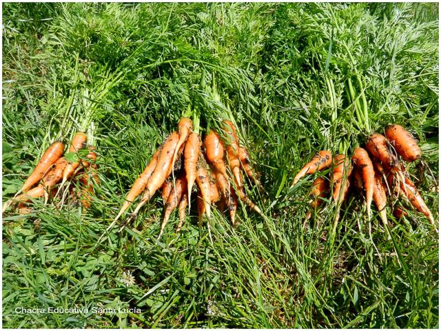 Zanahorias recién cosechadas - Chacra Educativa Santa Lucía