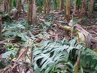 cultivos de platano destruidos