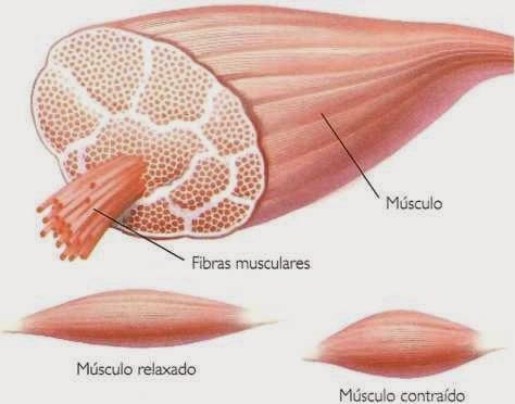 Contração muscular - Músculos lisos