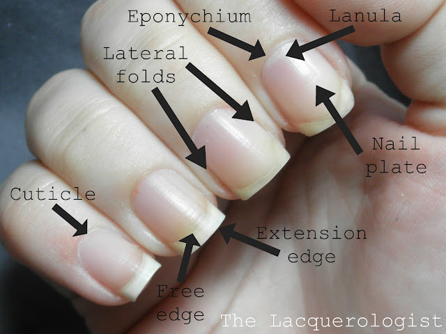 The Lacquerologist Tells All  Eponychium and Nail Plate Health and    Eponychium