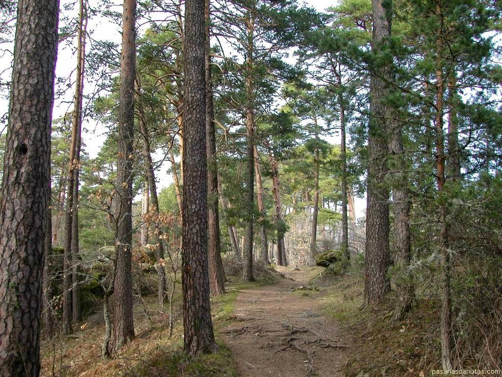 Bosque de pinos gallegos