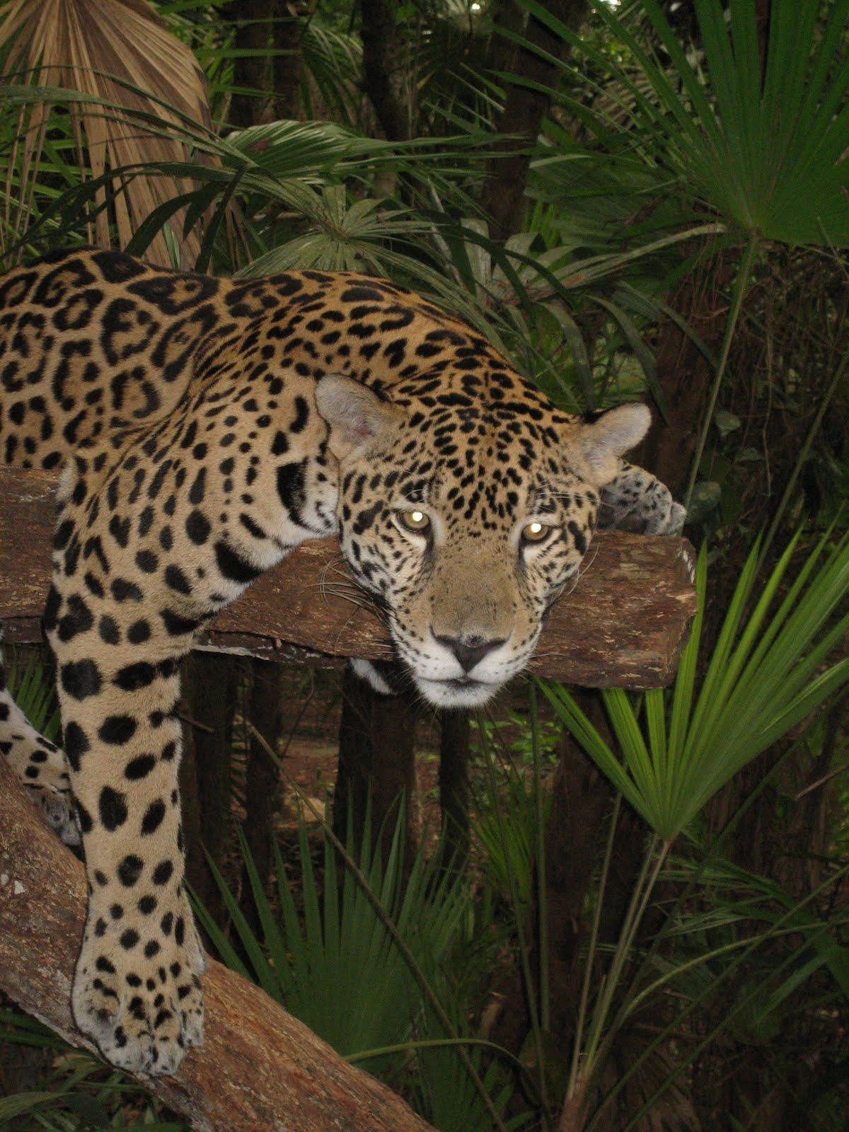Captivating ... Dacc Jaguar Spot Jaguar Spots Related Keywords Jaguar Spots ...