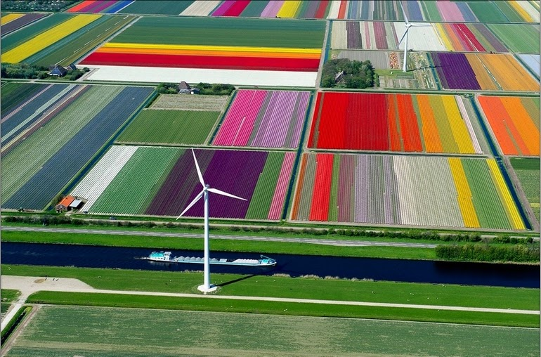 aerial photography - Tulip Fields in Spoorbuurt, North Holland, Netherlands