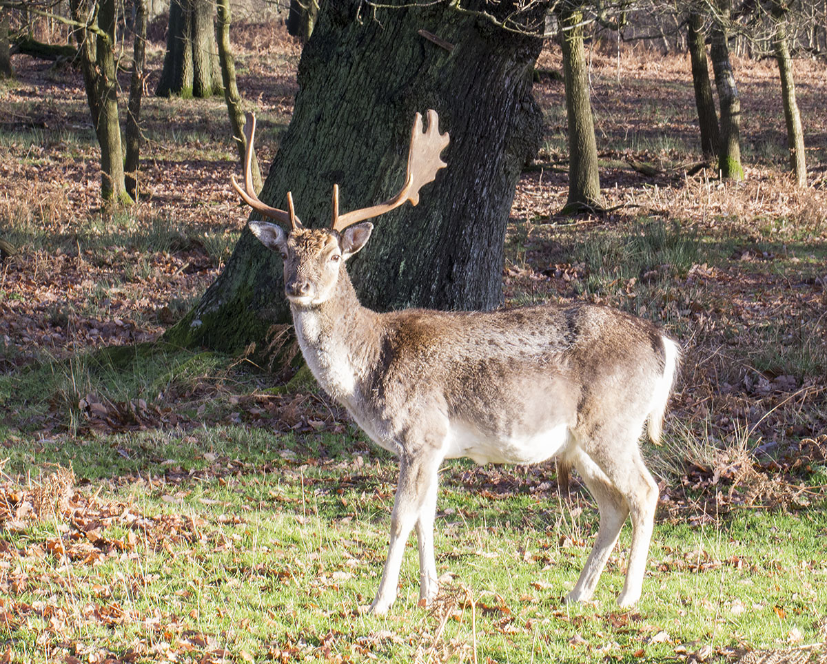 Fallow Deer, Dama dama.  Male.  Knole Park, 19 December 2013.
