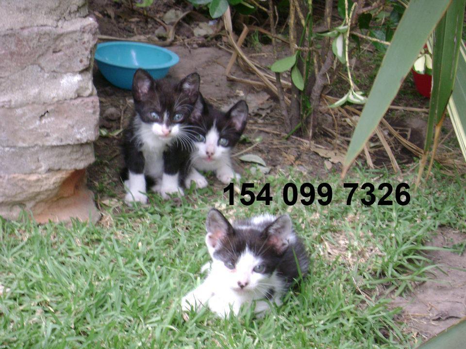 Un viejo gato azul: Adopciones de gatos y gatitos