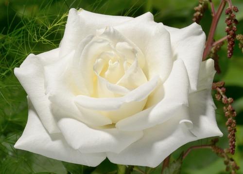 Bianca сорт розы фото