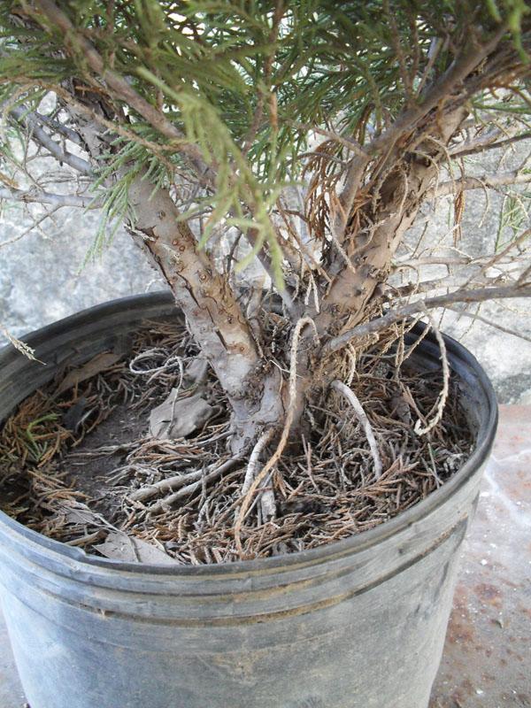 Bonsai web 1 modelado para un juniperus de vivero for Definicion de vivero