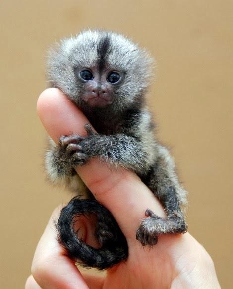 Baby Pygmy Marmoset size of mans finger