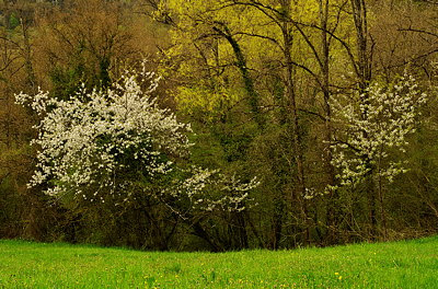 Photograph of two blossoming trees in a springtime hedgerow