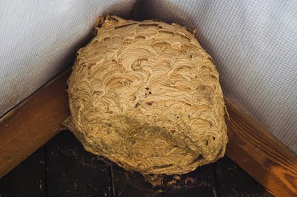 Nests   The Nests Of German And Common Wasps Generally Have Only One  Entrance/exit. If This Can Be Identified The Colony Can Be Destroyed By  Sprinkling Or ...