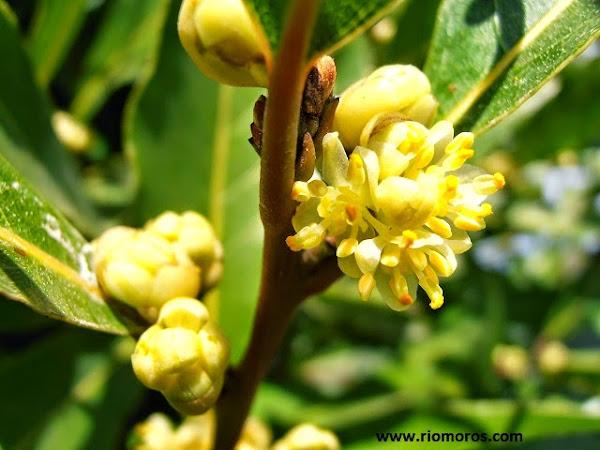 Arboles de sombra hoja perenne cuidar de tus plantas es for Plantas hoja perenne