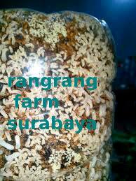 contoh semut siap panen