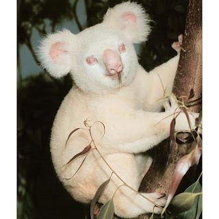 Albino Coala - White Koala