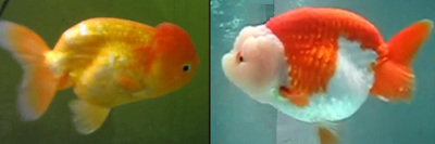 Chinese lionhead goldfish