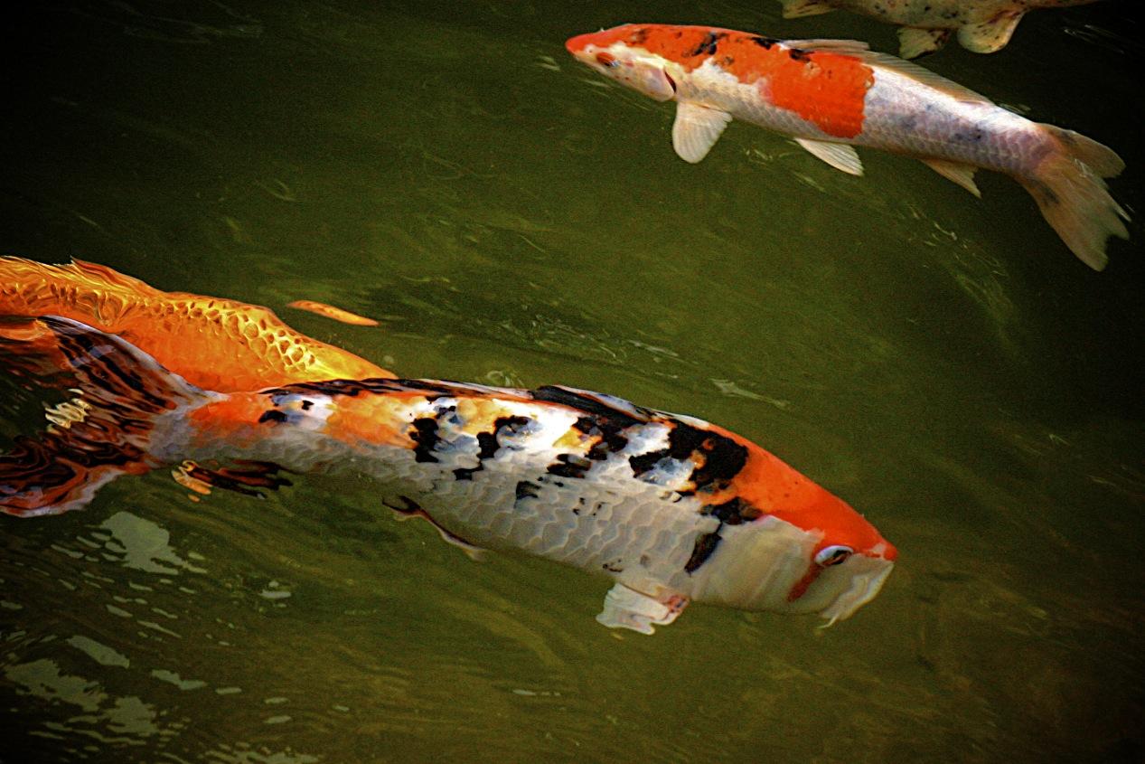 Pin peces koi japoneses nishikigoi o carpas mordi ndose en for Estanque peces koi